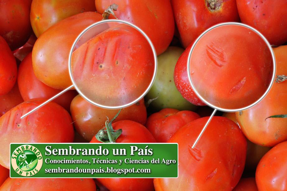daño mecánico en fruto de tomate