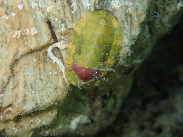Rhyssoplax olivacea