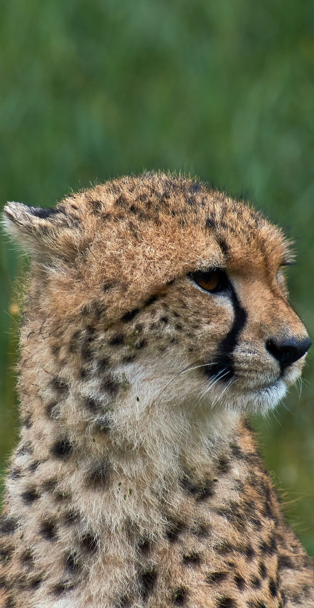 A cheetah on the lookout.