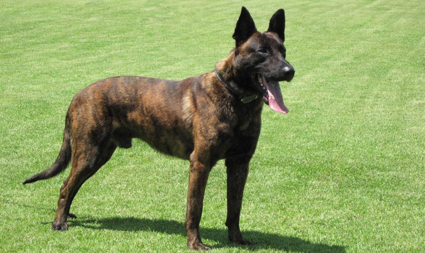 Dutch Police Dog Breeds