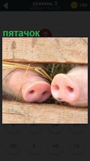сквозь доски в загоне высунулись два розовых пятачка свиней