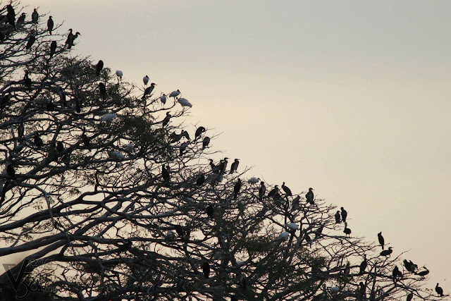 Hundreds of Cormorants and Black headed Ibis resting on the tree top