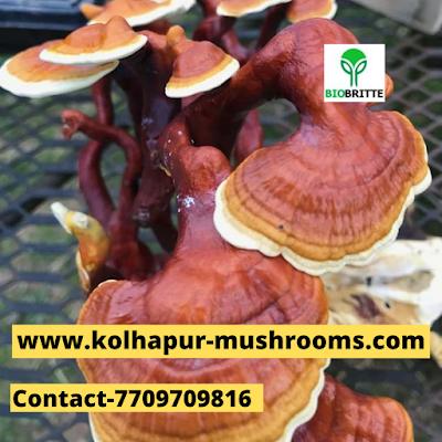 Buy Ganoderma Mushrooms Online