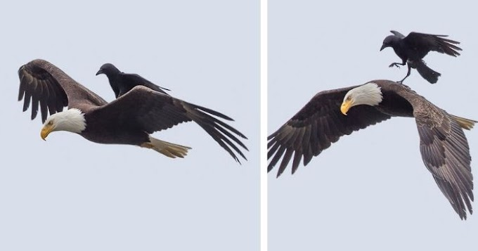 Crow Rides On The Back Of An Eagle, Mid-Air, In Once-In-A-Lifetime Photos