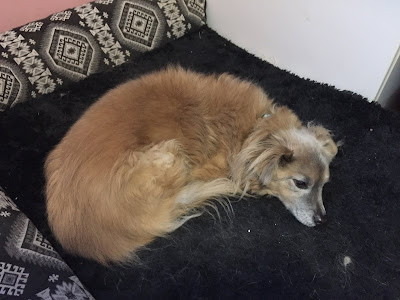 Fluffy little dog lying on a dog bed