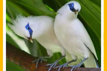 Tips for Success in Livestock and Breeding Bali Starlings