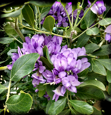 purple-blue blooms of Texas Mountain Laurel