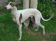 20 Best Indian Dog Breeds You Should Check Out (𝗨𝗟𝗧𝗜𝗠𝗔𝗧𝗘)