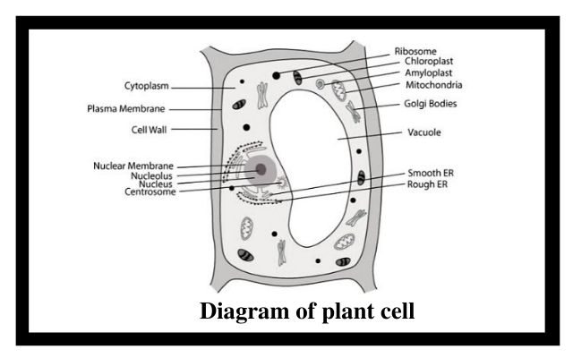 Diagram of plant cell