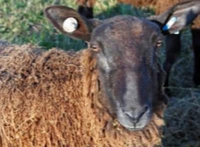 Identifikasi Elektronik Ternak Kambing Domba