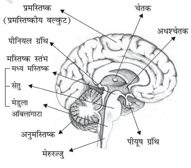 brain-in-hindi