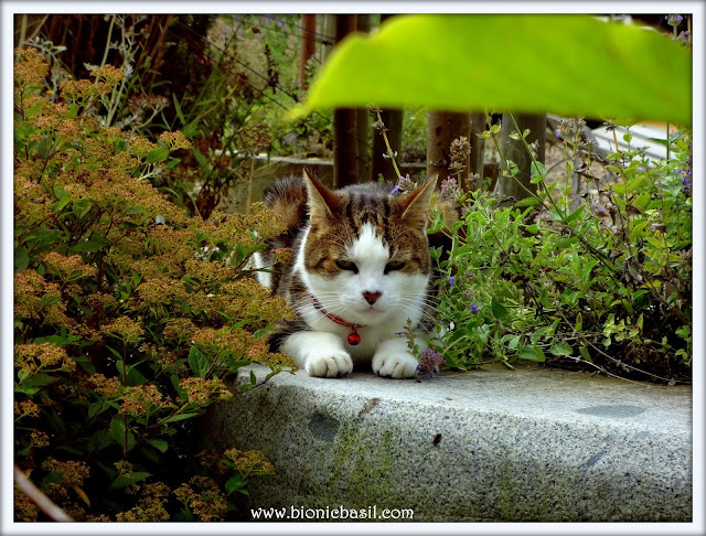 Brain Training with Cats #66 ©BionicBasil® Flashback with Basil to August 2015