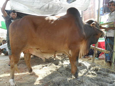 Big Cow Qurbani