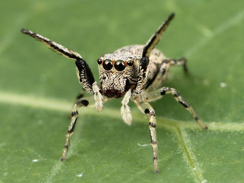 Arachnids: Kaldari Zygoballus rufipes female