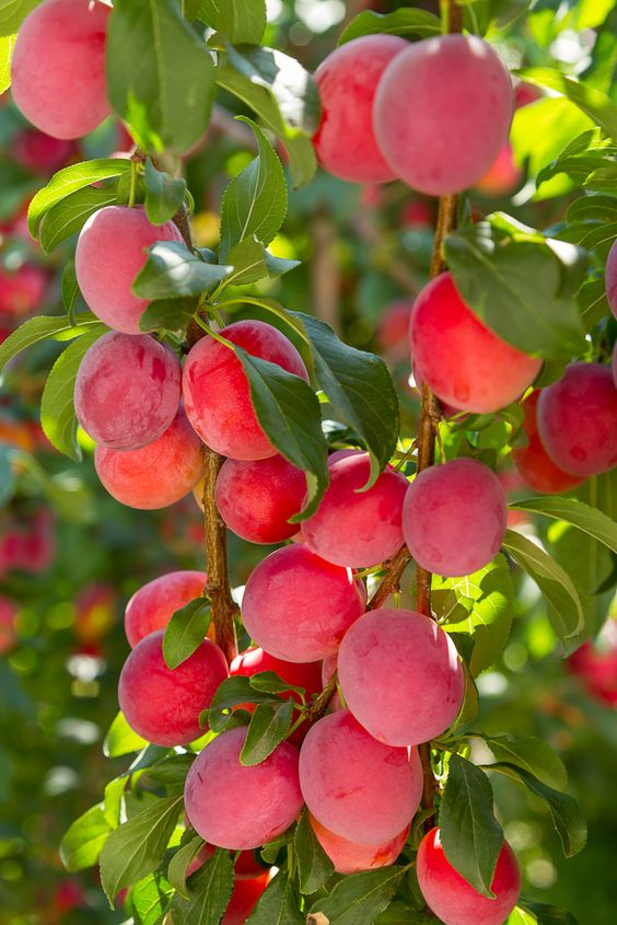 AU-Rosa Plum Trees