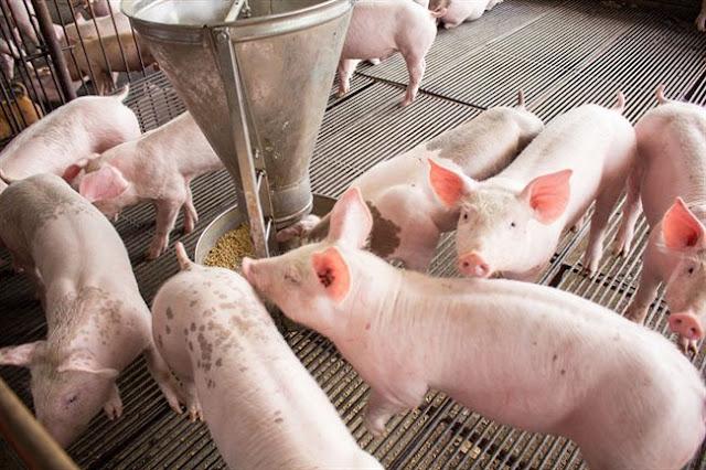 Giá heo - lợn hơi hôm nay 10/6: Tiếp tục lao dốc giảm sâu