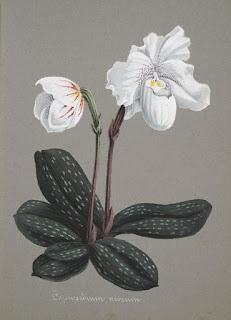 Free Botanical illustration Books orchids