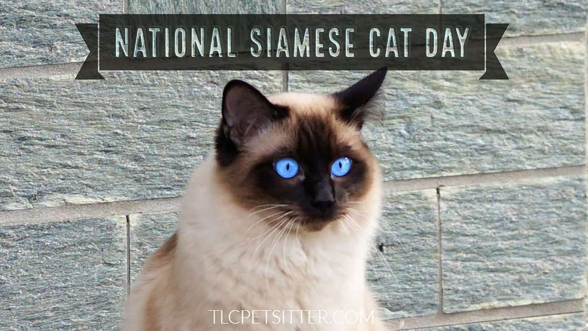 National Siamese Cat Day Wishes Awesome Images, Pictures, Photos, Wallpapers