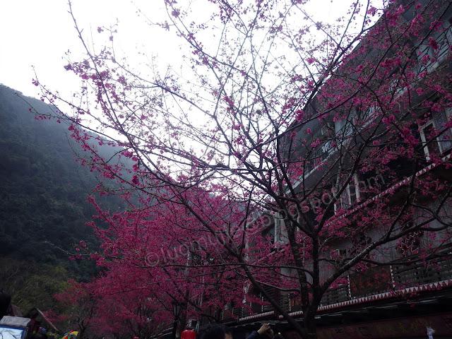 Wulai cherry blossom
