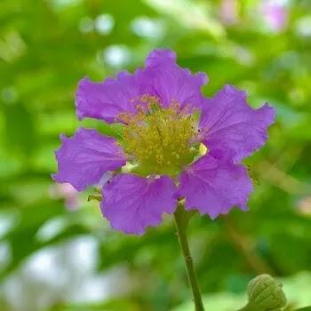 ताम्हण, Jarul Flowers Name In Marathi