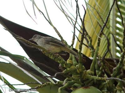 Pycnonotus plumosus - Olive-winged Bulbul
