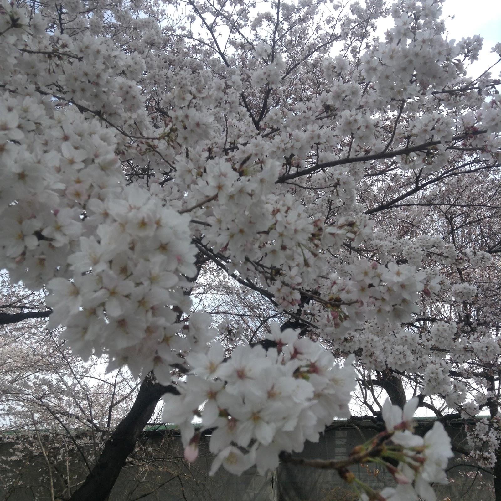 Sakura Kyoto Toji