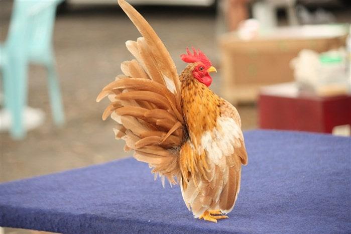 En değerli tavuklar Malezya Serama