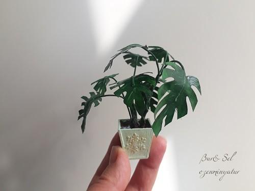 Minyatür Deve Tabanı Bitkisi