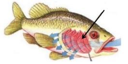 ilustrasi insang pada ikan