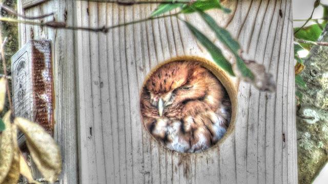 Screech Owls Return To The Nest Box
