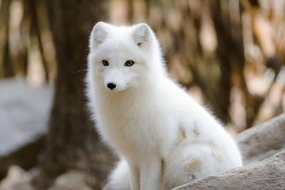 Rubah Arktik (Arctic Fox), Hewan Rubah, Spesies Hewan Rubah, Tentang Hewan Rubah, Memelihara Hewan Rubah,