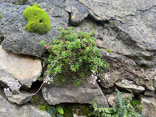 Sedum album on a wall.
