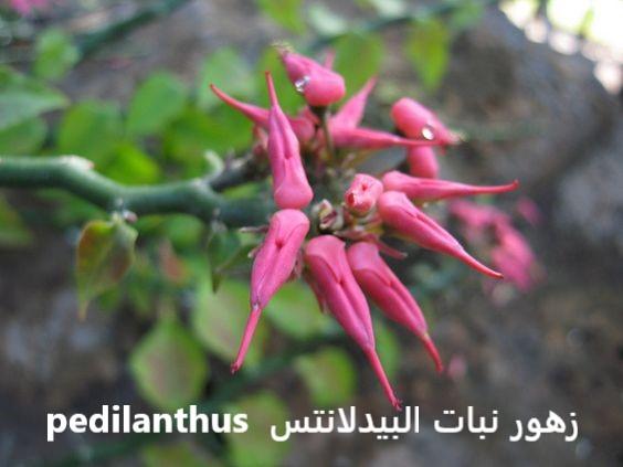 نبات البيدلانتس pedilanthus