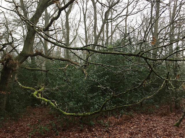 Oak branch with a range of mosses and lichens.  Hayes Common, 30 December 2016.
