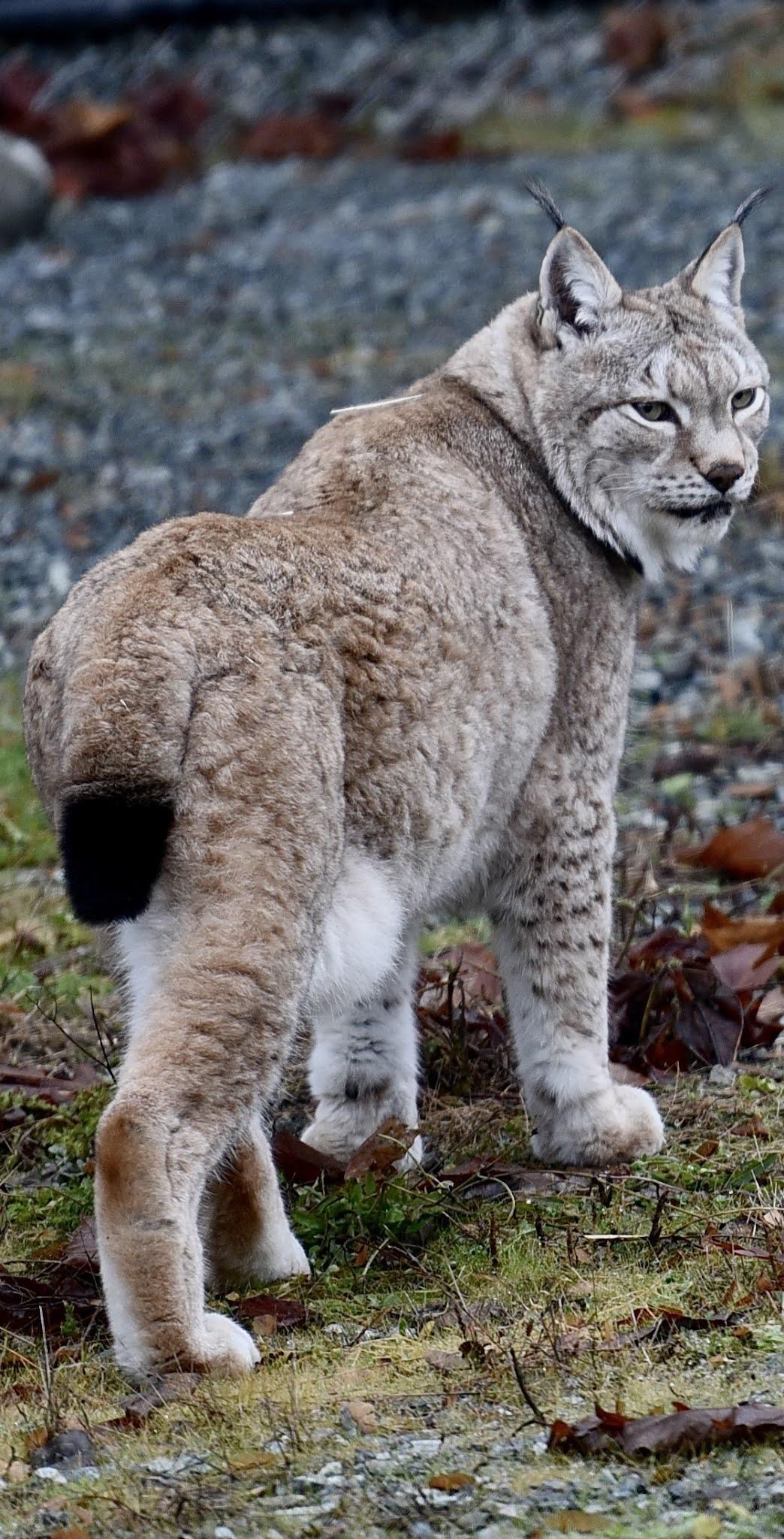 A beautiful lynx.