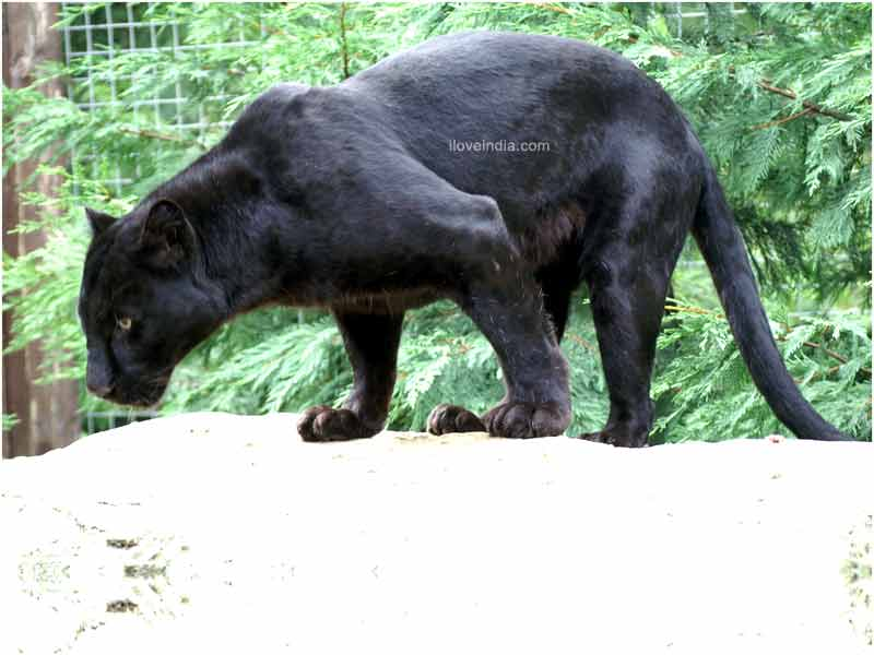 World Images Gallery: Black Panther - photo#25