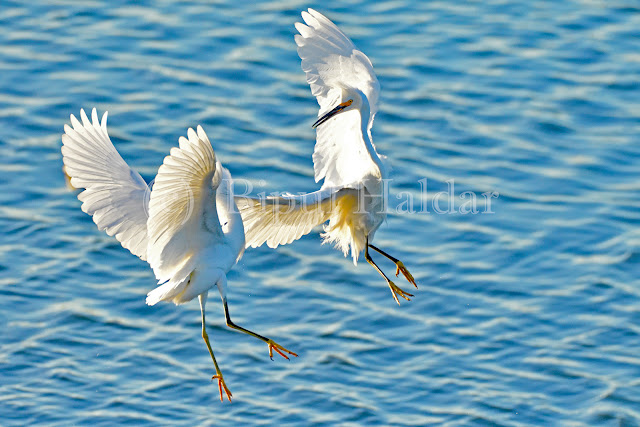 Snowy Egret Fighting