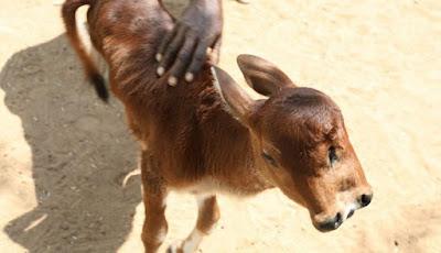 Anak sapi yang terlahir dengan dua wajah