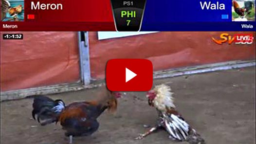 Pertandingan Sengit Ayam Bangkok Aduan Di Arena SV388