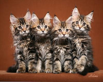 Cute Maine Coon tabby kittens