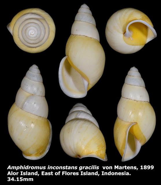 Amphidromus inconstans gracilis 34.15mm