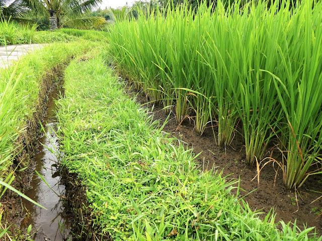 hur odlas ris på Bali?