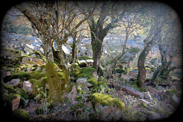 Bosque de rebollos. Bosques con musgo