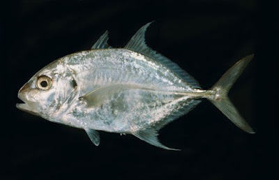 Jenis - Jenis Ikan Air Laut Ekonomis Pentin [Bagian 2)