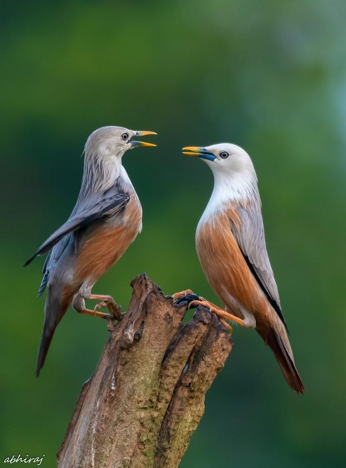 Malabar Starling