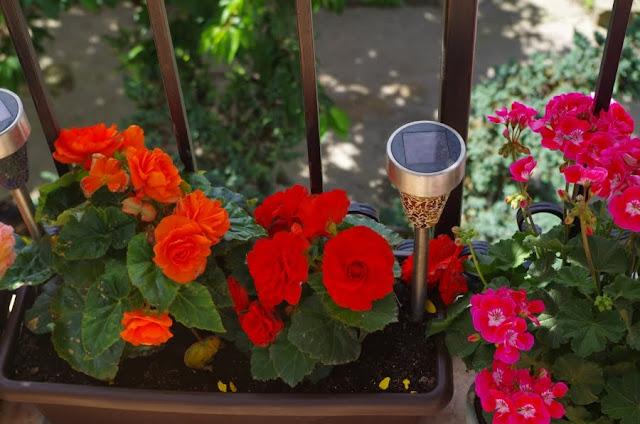 kwiaty na balkonie w kamienicy, pelargonia