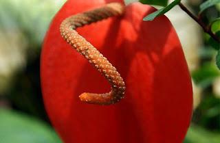 Gambar Bunga Anthurium yang Cantik 15