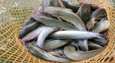 ikan lele cabe pedas