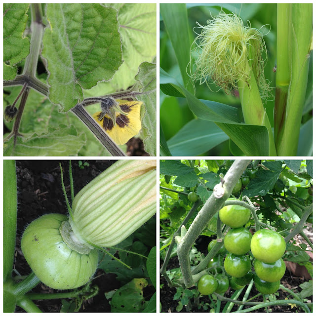 Physalis, corn cob, small squash and green tomatoes at the allotment