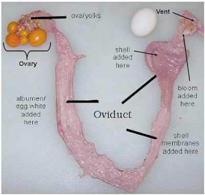 A hen's reproductive system consists of an ovary and oviduct  (a long tube with several parts that have different jobs)